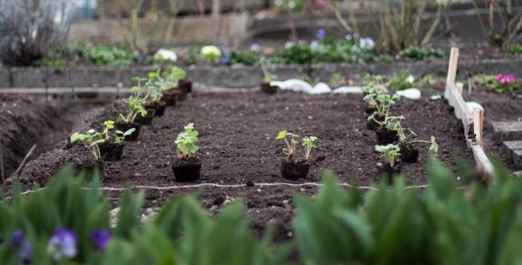 Когда лучше сажать клубнику - весной, летом или осенью и как правильно это сделать