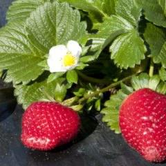 Ремонтантная клубника - выращивание, технология, схема посадки, цветение и плодоношение