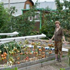 как выращивать помидоры в открытом грунте