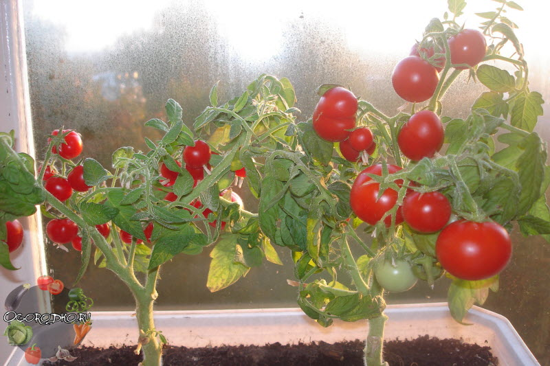 помидоры сорт Балконное чудо