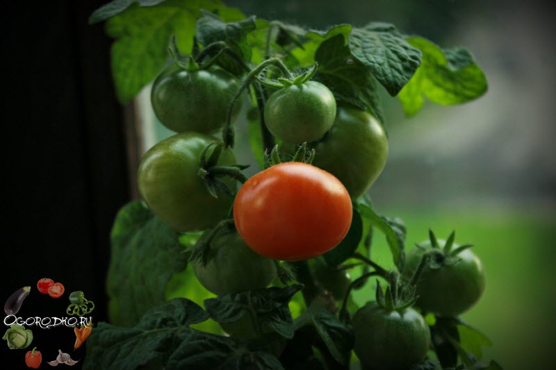 помидоры сорт Бонсай