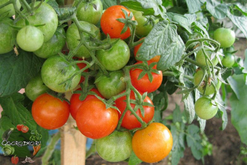 помидоры сорт Пиноккио