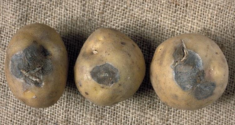 Фузариоз картофеля - болезнь фузариозное увядание, как избавиться и чем лечить, эффективные методы борьбы, препараты и народные средства