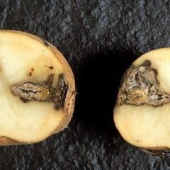 Болезни картофеля - признаки заболеваний, как определить, чем лечить,эффективные средства борьбы и препараты, народные средства