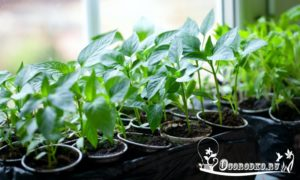 Как посадить перец на рассаду - сроки посадки, технология, уход