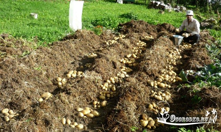 Посадка картофеля под солому и сено в огороде: технология метода