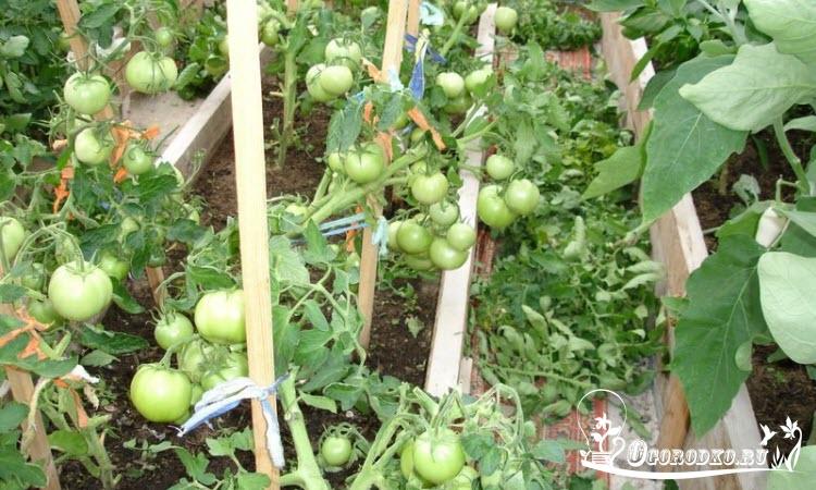 помидоры сорт Джина