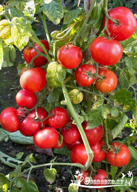 сорт помидор Беталюкс - характеристика, описание
