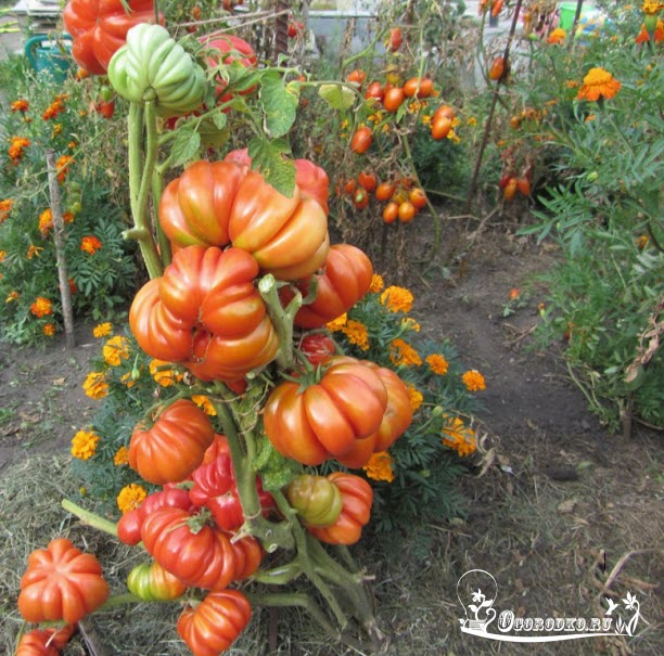 "сорт томатов ""Грибное лукошко"""