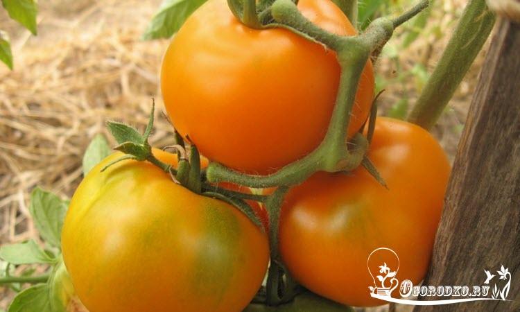 сорт помидор Каротиновый - описание, характеристика сорта, урожайность