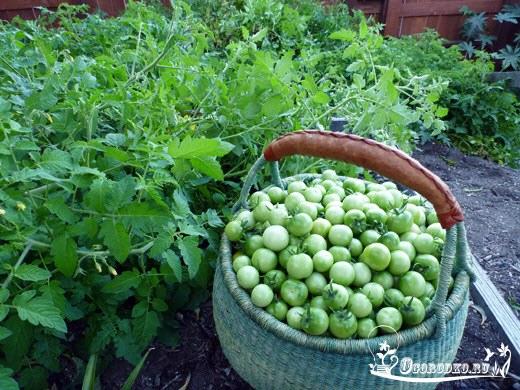Урожай зеленых помидор