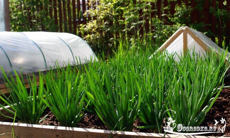 Зеленый лук ранней весной