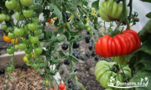 какие сорта томатов самые лучшие - описание сортов, характеристика, фото, отзывы
