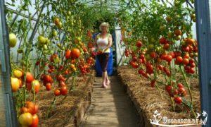 как подвязывать высокорослые помидоры