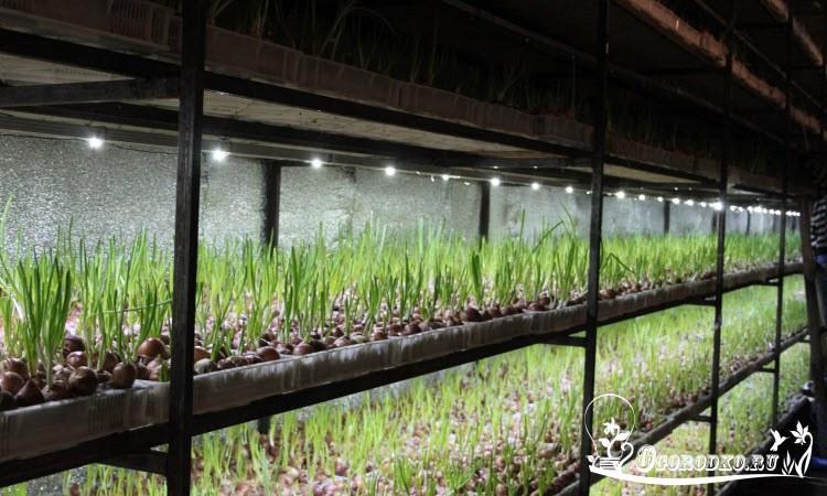 Зеленый лук мостовым способом - как посадить и как ухаживать, секреты и тонкости