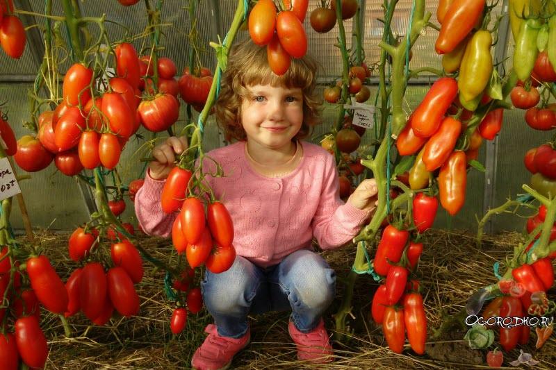 Выращивание высокорослых индетерминантных томатов