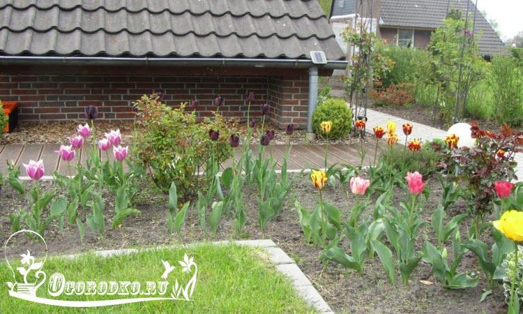 как правильно посадить и вырастить тюльпаны