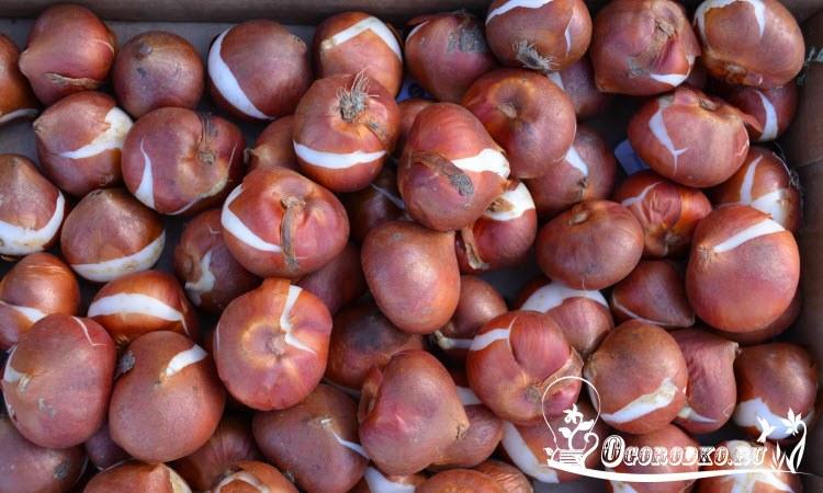 как хранить луковицы тульпанов