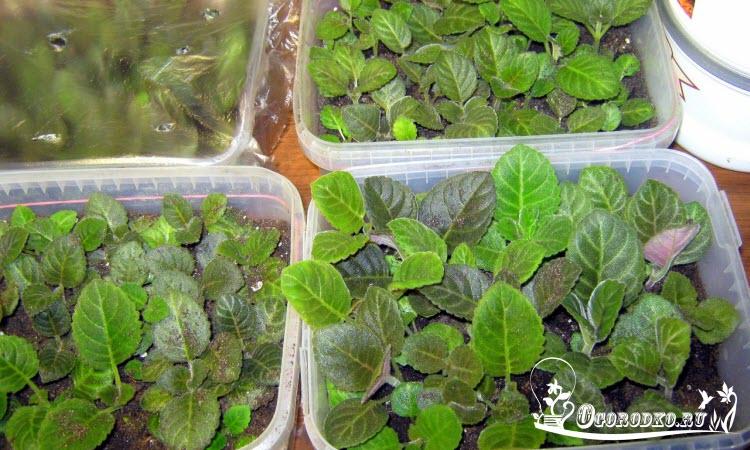 рассада глоксинии из семян, срок 2 месяца