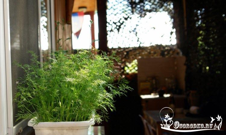 выращивание укропа в домашних условиях