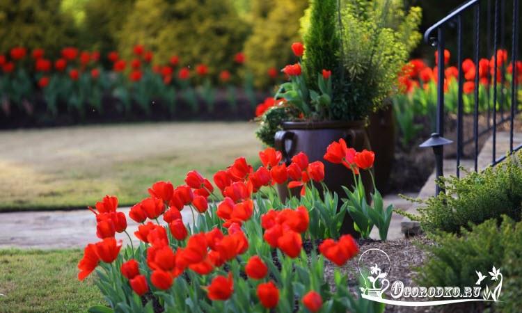 Когда сажать тюльпаны на постоянное место