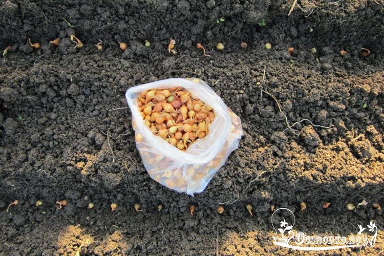 Когда и как весной сажать лук севок