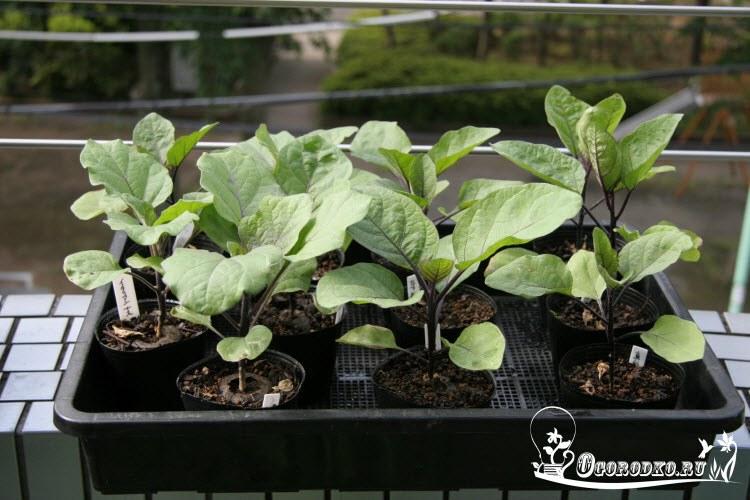 как вырастить рассаду баклажан дома
