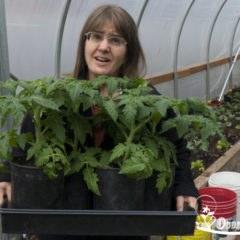 Выращивание рассады помидор в теплице или парнике