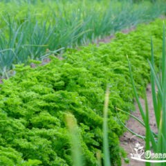 сорта петрушки на зелень