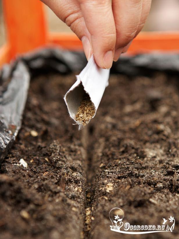 посев семян морковки