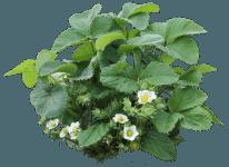 strawberry_bush_by_margaritamorrigan-d7i81o2