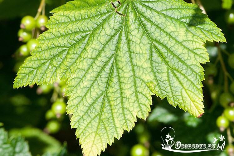 желтые пятна на листьях смородины