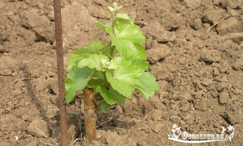 принявшийся саженец винограда