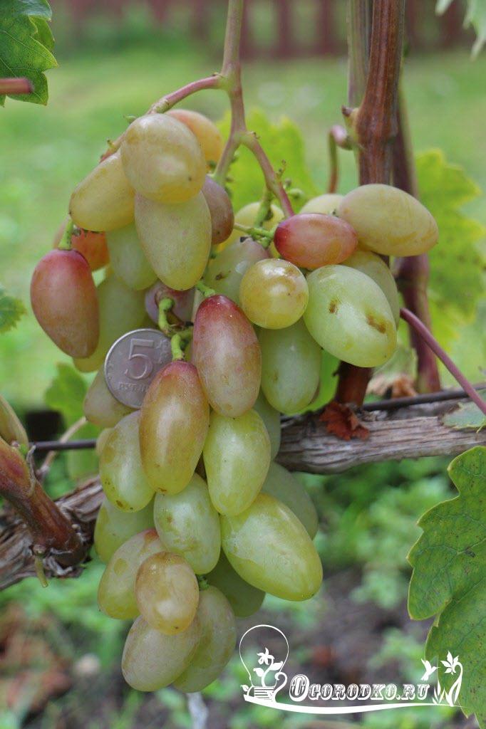 сорт винограда тимур розовый