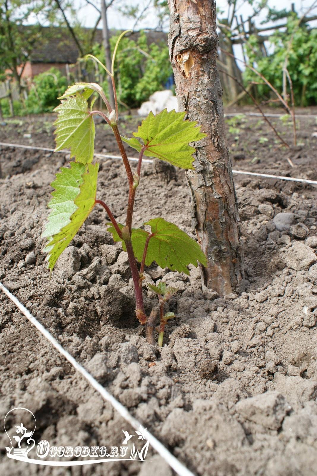 саженцы винограда сорт Тимур
