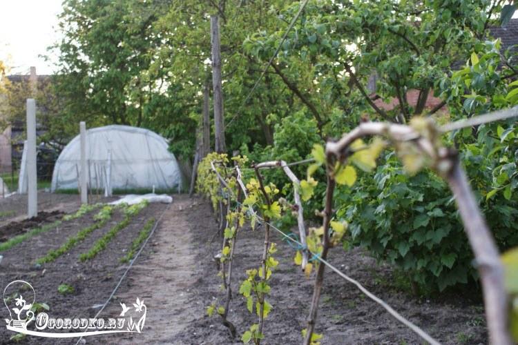 """полив винограда """"Тимур"""""""