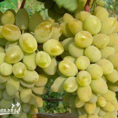 виноград тимур описание сорта фото