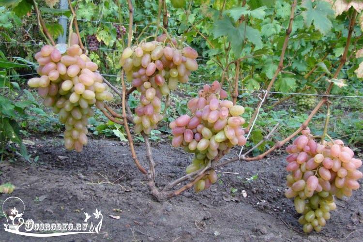 "розовый виноград сорт ""Тимур"""