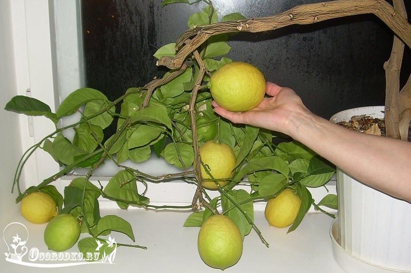 павловский лимон фото протяжении долгих лет