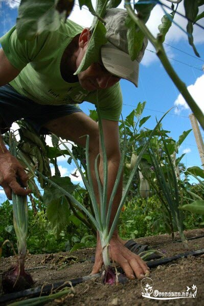 выращивание ялтинского лука