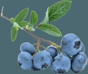 blueberry-539135_960_720