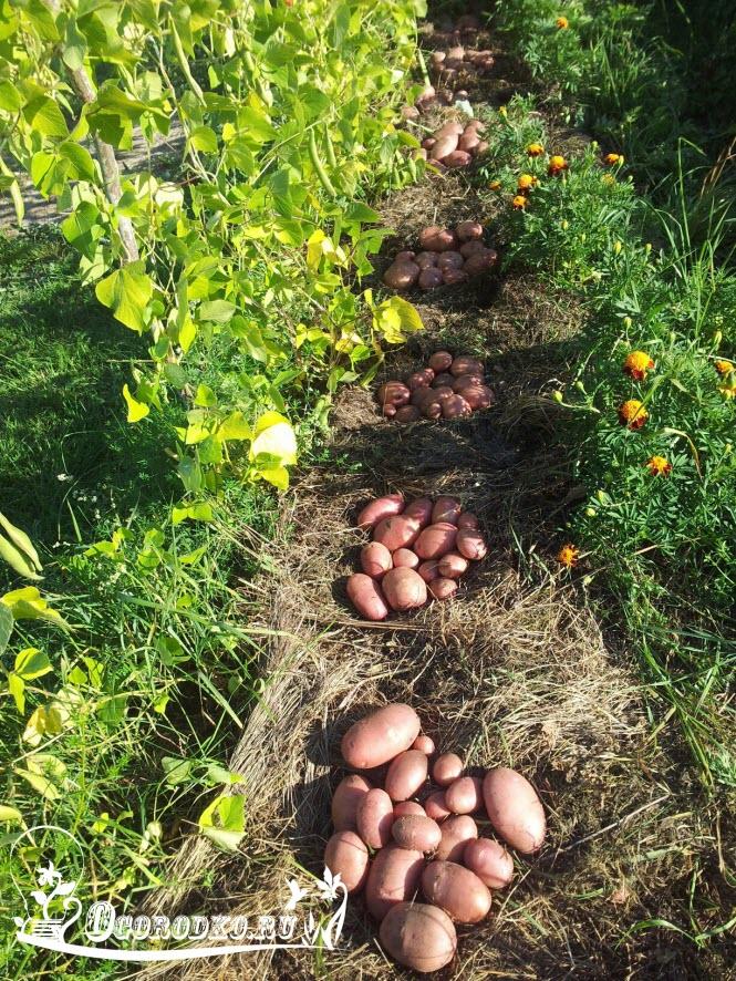 kartofel' red skarlet v solome
