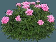 pink_peony_bush_by_margaritamorrigan-d8cr7zl
