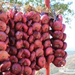 лук ялтинский выращивание