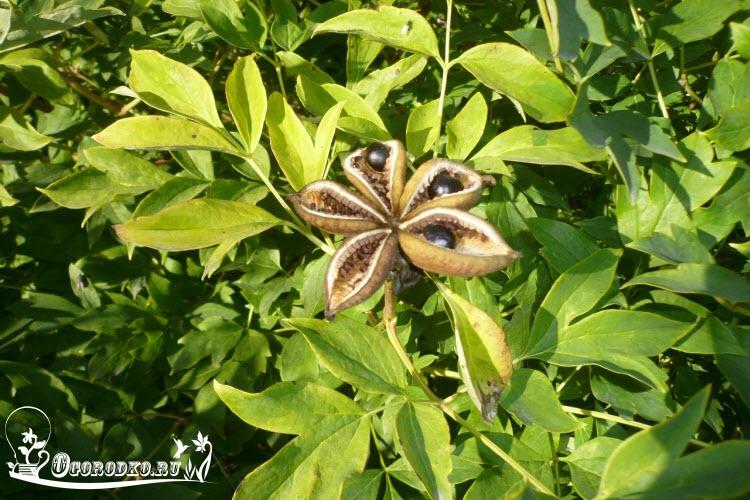 semena drevovidnogo piona