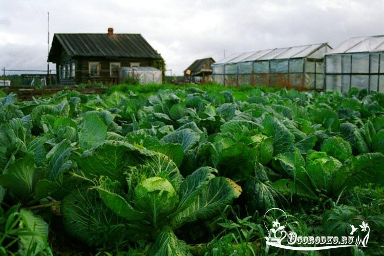 Как посадить и вырастить капусту
