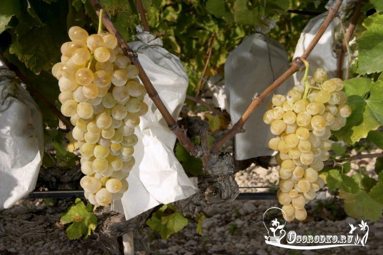 kak ukhazhivat' za vinogradom vesnoy