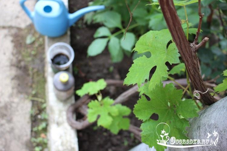 podkormka vinograda