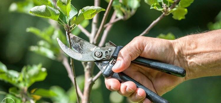 Как обрезать яблоню?