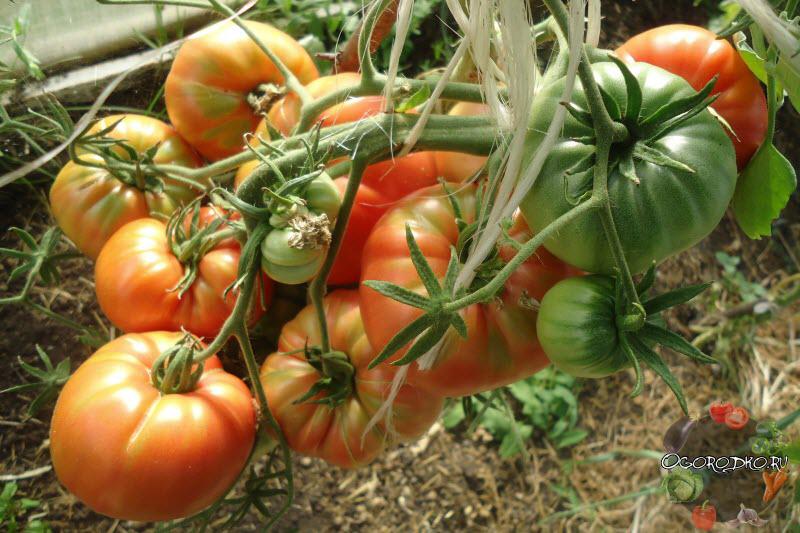 помидоры малиновый гигант